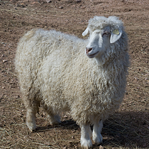 Picture of a Pygora Goat