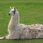 Llama taking a rest